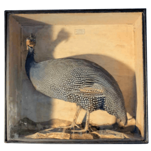 19Th Century Cased Guinea Fowl