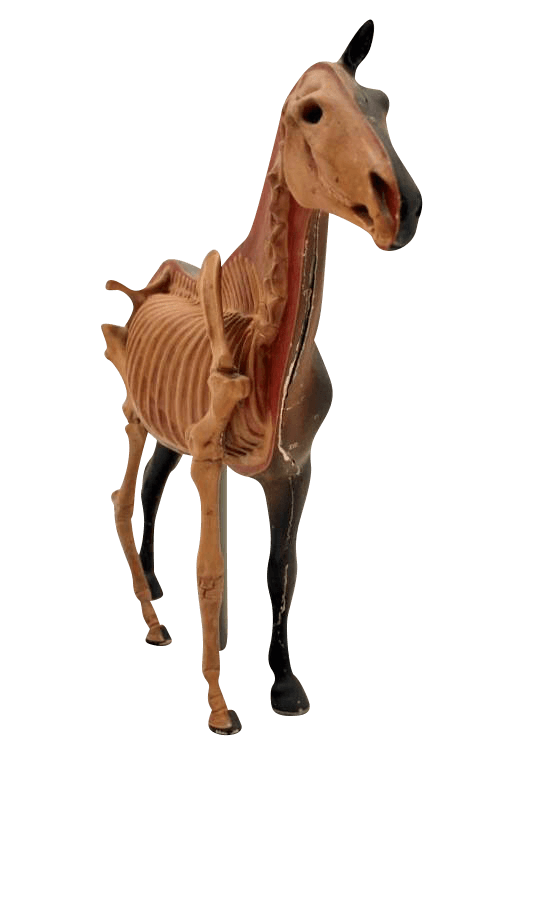 20Th Century Anatomical Study Of A Horse