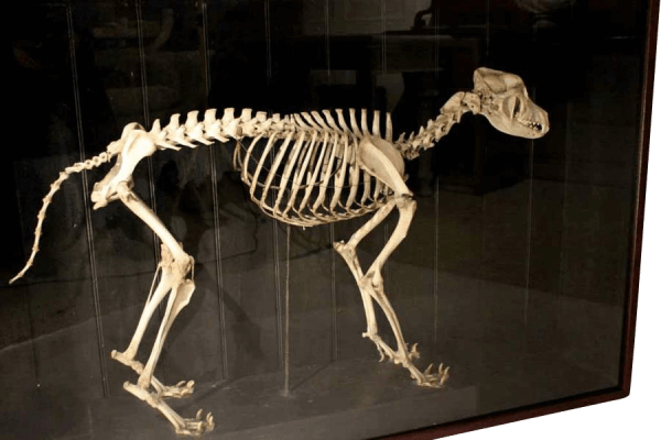 19th Century skeleton Of A Wild African Dog