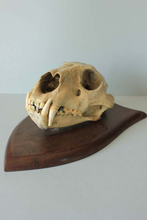 lion skull P.Spicer
