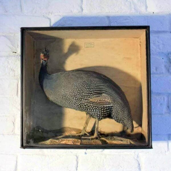 19Th Century Cased Guinea Fowl