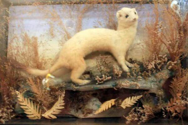 A Victorian Cased Ermine Stoat
