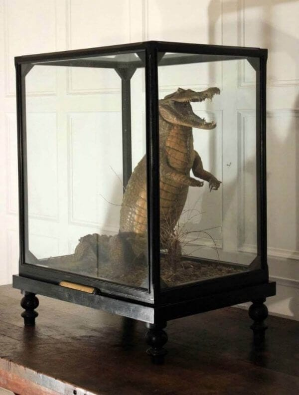 19th Century Cased Crocodile