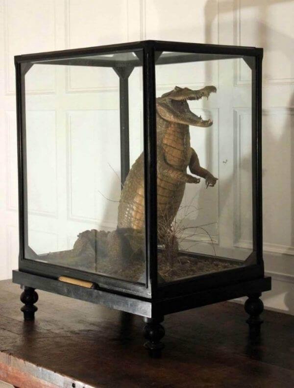 19th Century Cased Crocodile